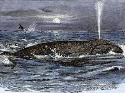 Right Whale Spouting--Giclee Print