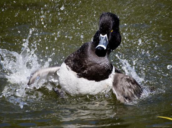 Ring-Necked Duck Swimming, San Diego, California-Tim Laman-Photographic Print