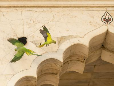 Ring Necked Parrots at Agra Fort-Michael Melford-Photographic Print