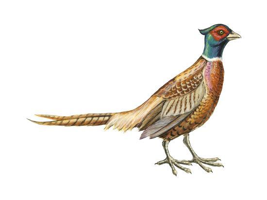 Ring-Necked Pheasant (Phasianus Colchicus), Birds-Encyclopaedia Britannica-Art Print