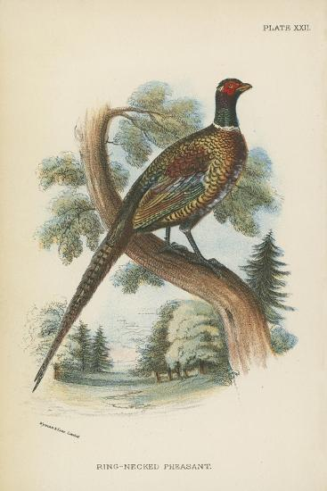 Ring-Necked Pheasant-English School-Giclee Print