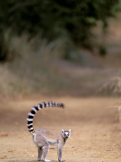 Ring-tailed Lemur, Berenty Reserve, Madagascar-Pete Oxford-Photographic Print