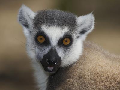Ring-Tailed Lemur Face (Lemur Catta), Madagascar-Christopher Crowley-Photographic Print