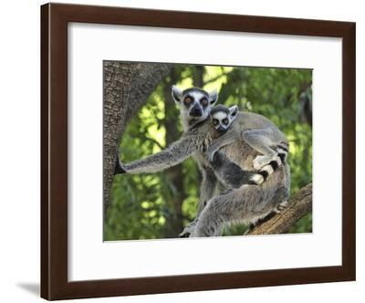 Ring-Tailed Lemur (Lemur Catta) Female and Baby, Berenty Private Reserve, Madagascar-Thomas Marent/Minden Pictures-Framed Photographic Print