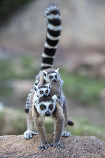Ring-Tailed Lemur (Lemur Catta) Female Carrying Two Babies-Bernard Castelein-Photographic Print