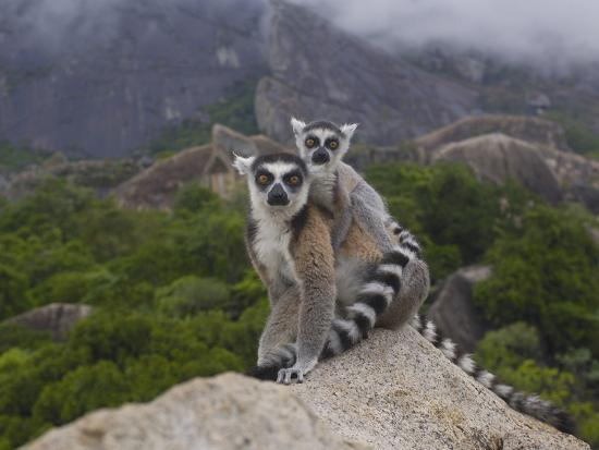 Ring-Tailed Lemur (Lemur Catta) Mother and Young, Near Andringitra Mountains, Madagascar-Pete Oxford-Photographic Print