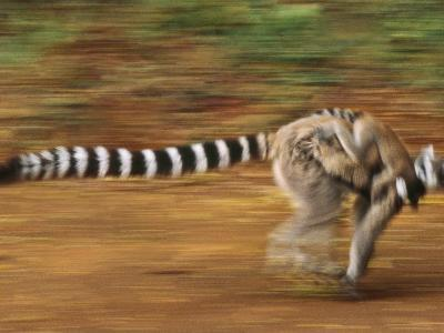 Ring-Tailed Lemur Running with Young, Lemur Catta, Berenty Reserve, Madagascar-Frans Lanting-Photographic Print