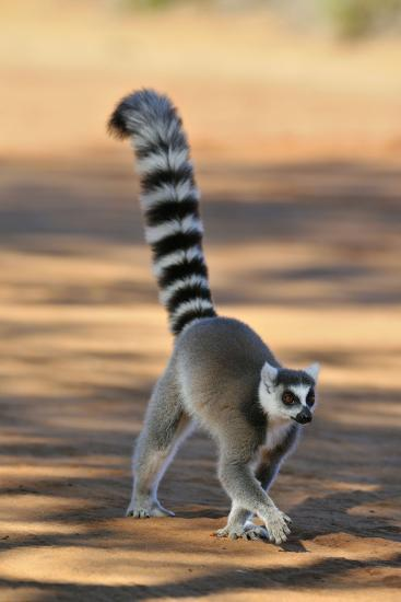 Ring-Tailed Lemur Walking with Tail Up--Photographic Print