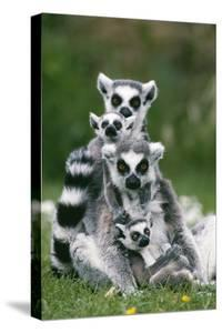 Ring-Tailed Lemur with Young
