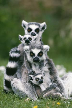 https://imgc.artprintimages.com/img/print/ring-tailed-lemur-with-young_u-l-q10698k0.jpg?p=0