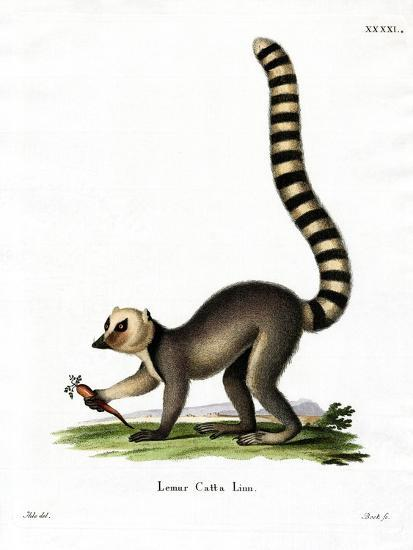 Ring-Tailed Lemur--Giclee Print