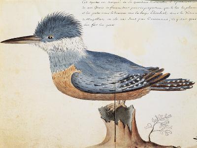 Ringed Kingfisher (Megaceryle Torquata)--Giclee Print
