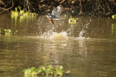 Ringed Kingfisher-Joe McDonald-Photographic Print