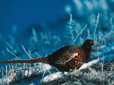 Ringed-Neck Pheasant Treads Through Terrain Covered by Snow-Jeff Foott-Photographic Print