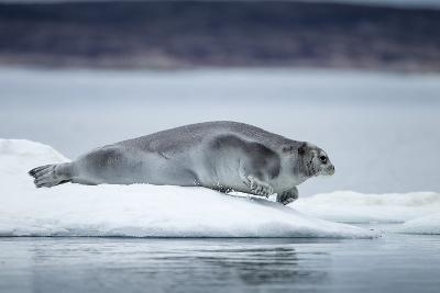 Ringed Seal on Iceberg, Nunavut, Canada-Paul Souders-Photographic Print