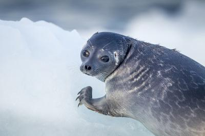 Ringed Seal Pup, Nunavut, Canada-Paul Souders-Photographic Print