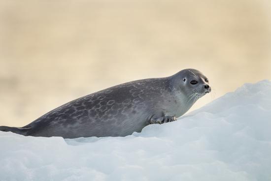 Ringed Seal Pup, Nunavut, Canada-Paul Souders-Photographic Print