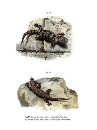 Ringed Wall Gecko--Giclee Print