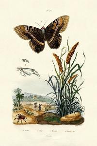 Ringlet, 1833-39