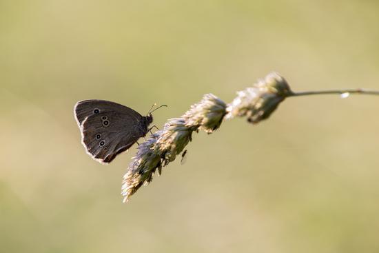 Ringlet Butterfly on a Blade of Grass-Jurgen Ulmer-Photographic Print