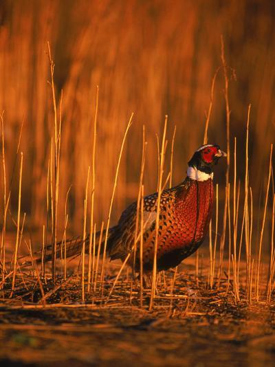 Ringneck Pheasant-D^ Robert Franz-Photographic Print