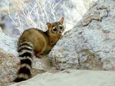 Ringtail Cat, USA-Wendy Shattil & Bob Rozinski-Photographic Print