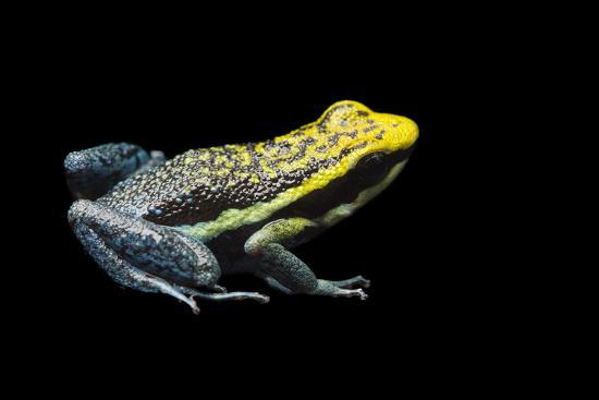 Rio Abiseo Morph of the Pepperi Poison Dart Frog, Ameerega Pepperi-Joel Sartore-Photographic Print
