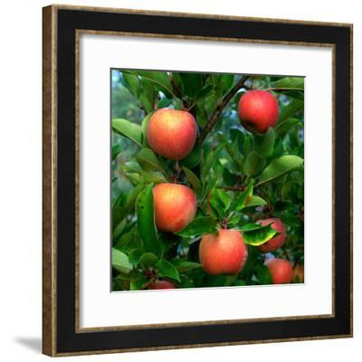Ripe Apples on a Tree at the Apple Farm, Anderson Valley, Mendocino, California, USA-Wes Walker-Framed Photographic Print