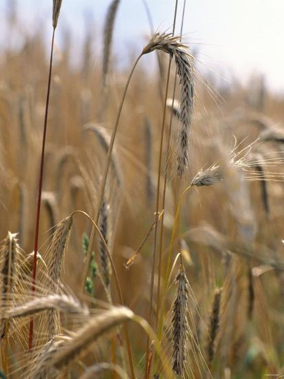 Ripe Barley Ears in the Field-Peter Rees-Photographic Print