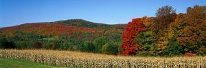 Ripe Corn Autumn Leaves Vermont USA