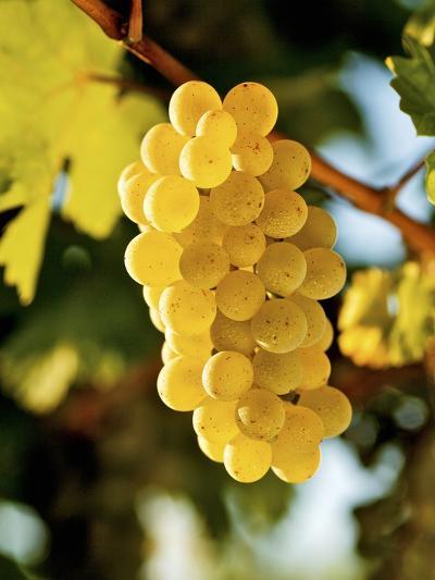 Ripe White Wine Grapes on Vine (Grüner Veltliner, Lower Austria)-Herbert Lehmann-Photographic Print