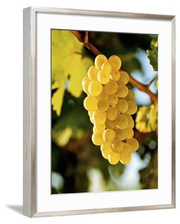 Ripe White Wine Grapes on Vine (Grüner Veltliner, Lower Austria)-Herbert Lehmann-Framed Photographic Print