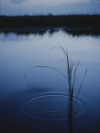 Ripples Form Around a Grass Stalk in a Calm Body of Water-Raul Touzon-Photographic Print