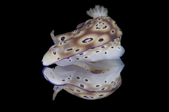 Risbecia Tryoni Nudibranch, Beqa Lagoon, Fiji-Stocktrek Images-Photographic Print