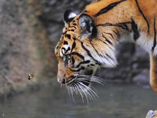 Risk Taker Bengal Tiger and Butterfly-Jai Johnson-Giclee Print