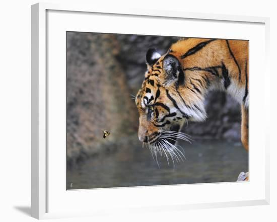 Risk Taker Bengal Tiger and Butterfly-Jai Johnson-Framed Giclee Print