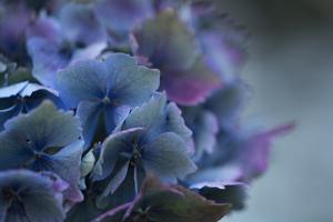 Autumn Hydrangea III by Rita Crane