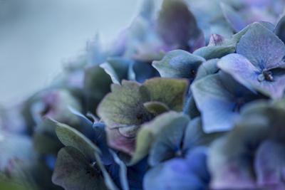 Autumn Hydrangea IV