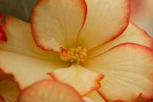 Camille's Begonias I by Rita Crane