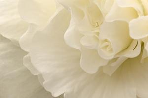 Delicate Begonia II by Rita Crane