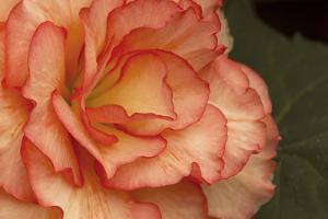 Festive Begonia I by Rita Crane