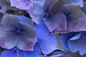 Hydrangea Blues III by Rita Crane