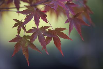 Japanese Maple III