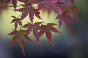 Japanese Maple III by Rita Crane