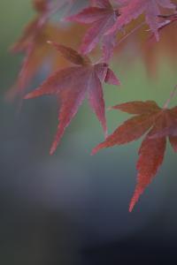 Japanese Maple VI by Rita Crane