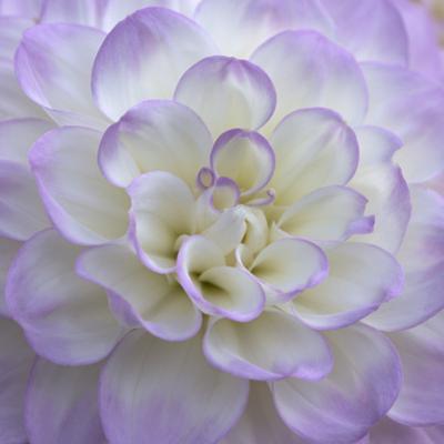 Lavender Dahlia VI by Rita Crane