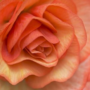 Orange Ruffles III by Rita Crane