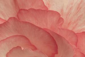 Pink Begonia Petals II by Rita Crane