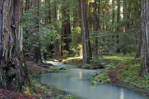 Redwood Forest I by Rita Crane