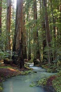 Redwood Forest III by Rita Crane